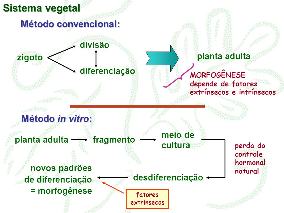 Método convencional: zigoto divisão diferenciação planta adulta Método in vitro: fragmento meio de cultura desdiferenciação planta adulta novos padrõe