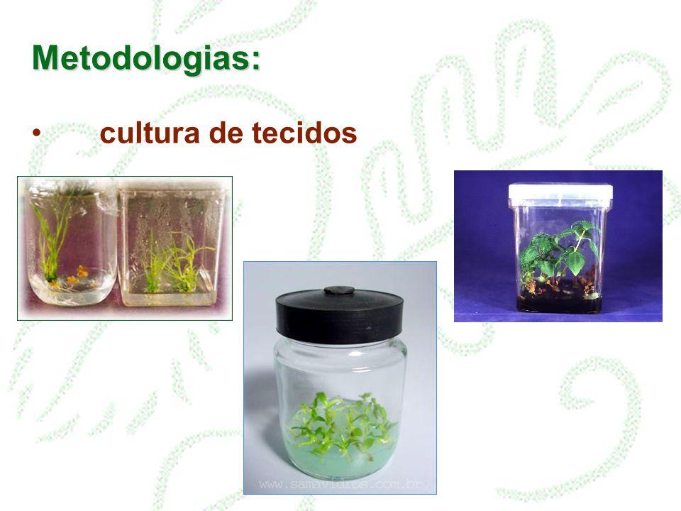 Metodologias: Origem do material: diferenciação a partir da cultura de calo = organogênese indireta