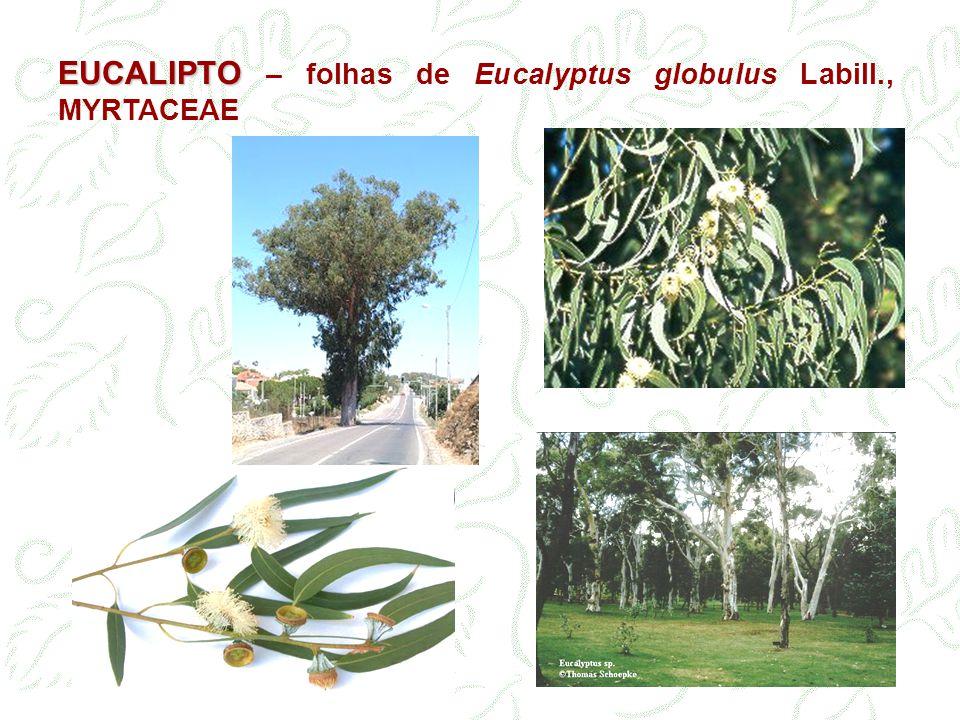 EUCALIPTO EUCALIPTO – folhas de Eucalyptus globulus Labill., MYRTACEAE