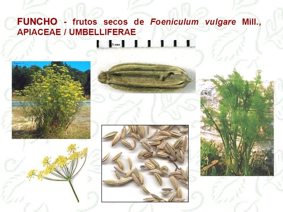 FUNCHO FUNCHO - frutos secos de Foeniculum vulgare Mill., APIACEAE / UMBELLIFERAE