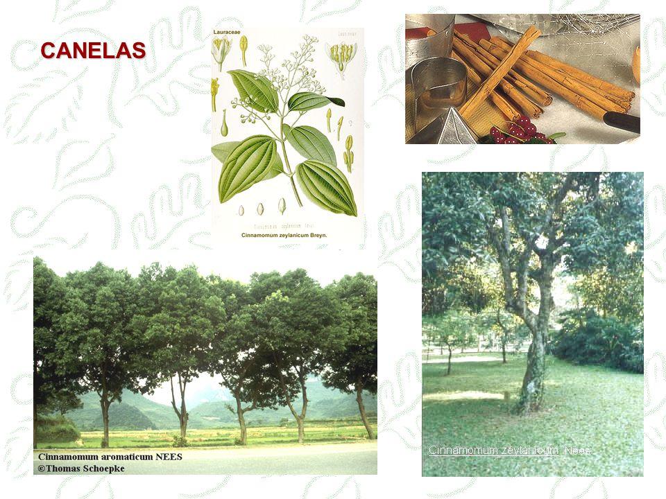 Canela do Ceilão Canela do Ceilão – cascas descorticadas dos ramos da Cinamomum zeylanicum Blume, LAURACEAE (Sri Lanka) Canela da China Canela da China – cascas de Cinamomum cassia Blume (C.