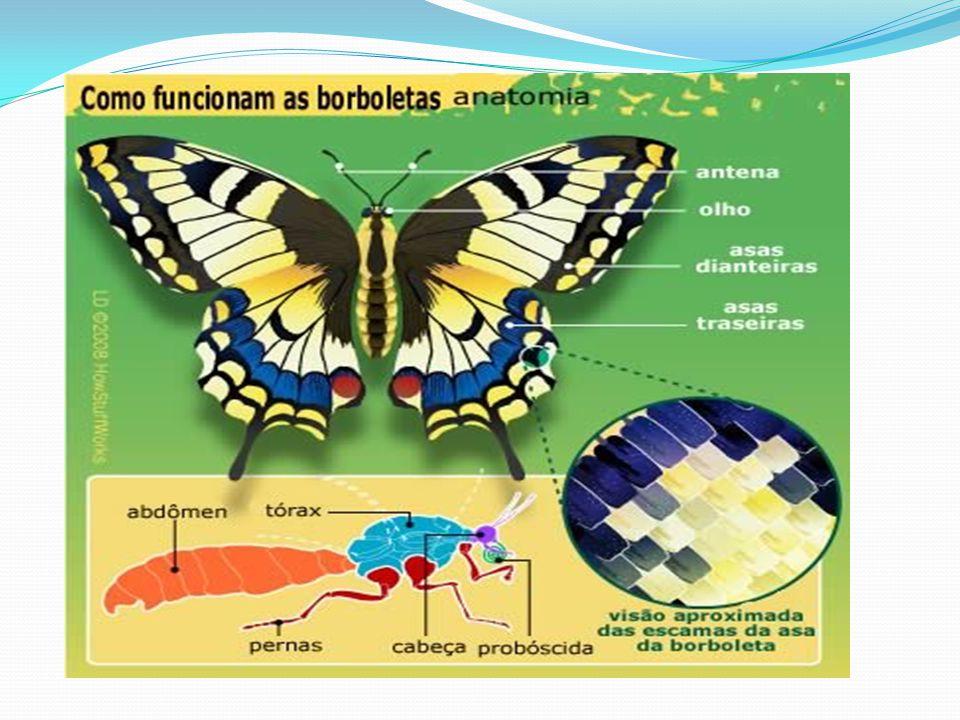Nexos internos Os nexos internos dentro da transformação da borboleta são: O tempo de transformação O nome das etapas Característica de cada etapa.