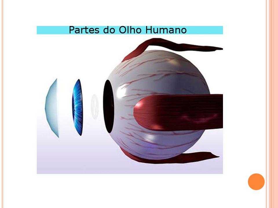 O interior dos olhos e coberto pela retina.