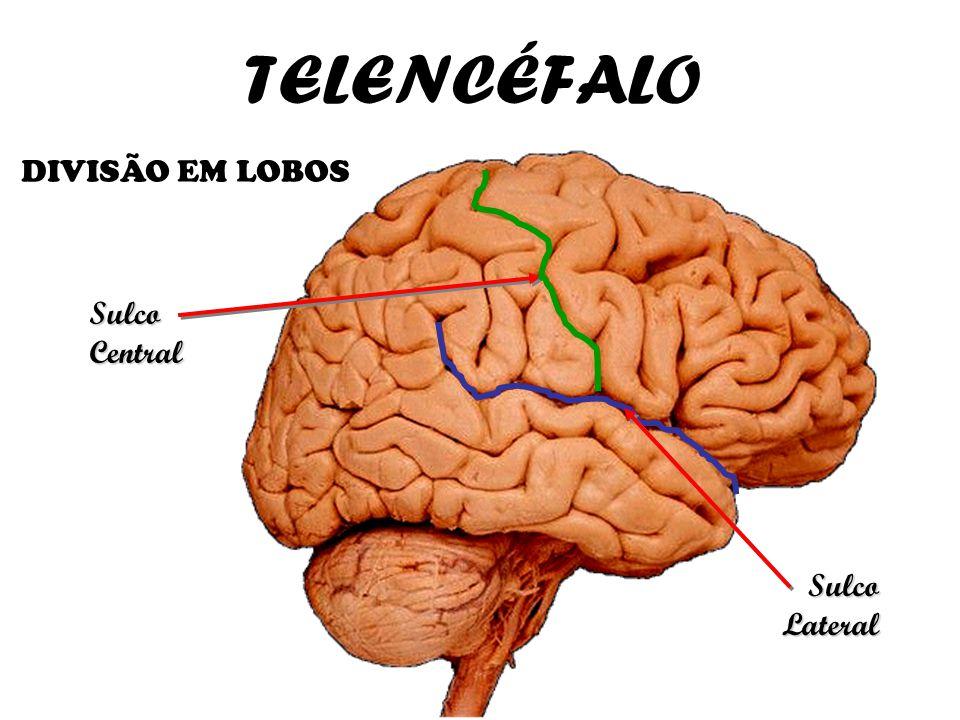 TELENCÉFALO DIVISÃO EM LOBOS Sulco Central Sulco Lateral