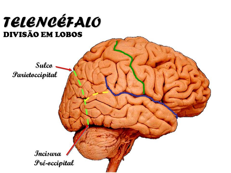 TELENCÉFALO DIVISÃO EM LOBOS Sulco Parietoccipital Incisura Pré-occipital