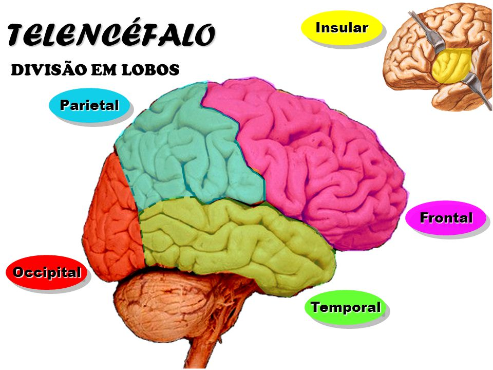 FrontalFrontal OccipitalOccipital ParietalParietal Temporal Frontal Occipital Parietal Sulco Central TELENCÉFALO DIVISÃO EM LOBOS Sulco Parietoccipital Aqueduto do mesencéfalo