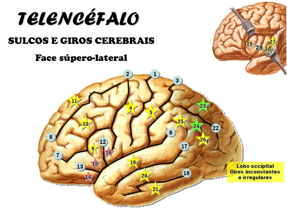 TELENCÉFALO SULCOS E GIROS CEREBRAIS Face súpero-lateral 66 1122 33 88 77 1717 2222 1818 1212 1313 1111 1010 1616 1515 1414 44 55 99 1919 2020 2121 25