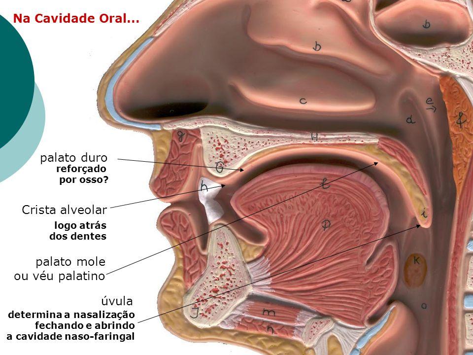 Na Cavidade Oral... logo atrás dos dentes Crista alveolar reforçado por osso? palato duro palato mole ou véu palatino úvula determina a nasalização fe