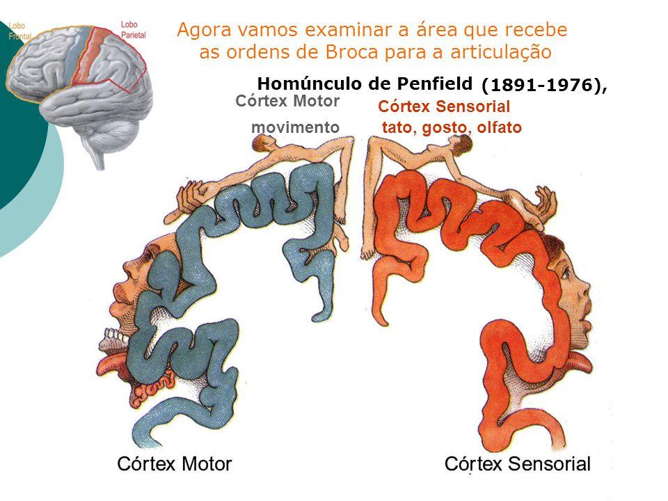 Córtex Motor Córtex Sensorial movimento tato, gosto, olfato Homúnculo de Penfield (1891-1976), Agora vamos examinar a área que recebe as ordens de Bro