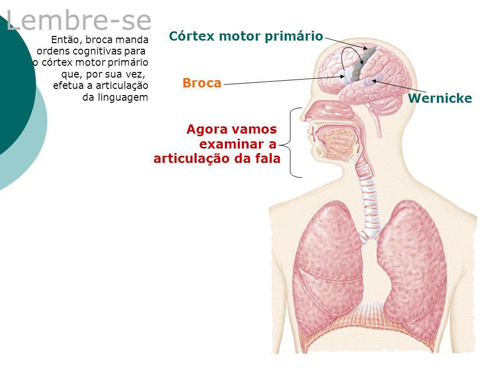 Lembre-se Broca Wernicke Córtex motor primário Então, broca manda ordens cognitivas para o córtex motor primário que, por sua vez, efetua a articulaçã