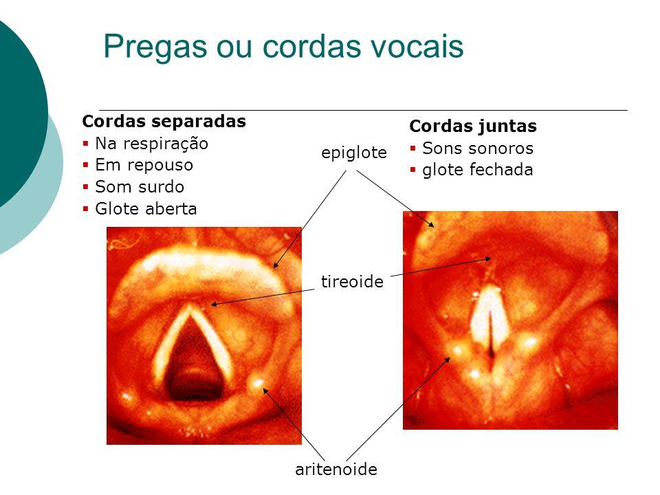 Pregas ou cordas vocais epiglote aritenoide Cordas separadas Na respiração Em repouso Som surdo Glote aberta Cordas juntas Sons sonoros glote fechada
