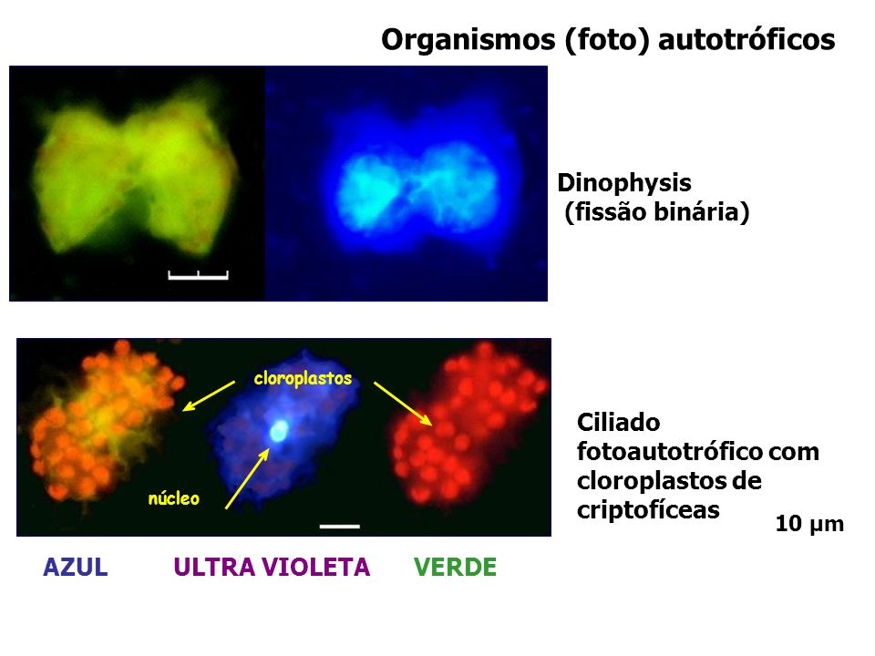 cloroplastos núcleo Organismos (foto) autotróficos AZUL ULTRA VIOLETA VERDE Ciliado fotoautotrófico com cloroplastos de criptofíceas Dinophysis (fissã