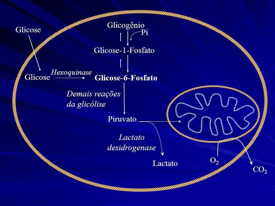 Glicose Piruvato Demais reações da glicólise Glicogênio Glicose-1-Fosfato Glicose-6-Fosfato Pi Lactato Lactato desidrogenase Glicose Hexoquinase CO 2
