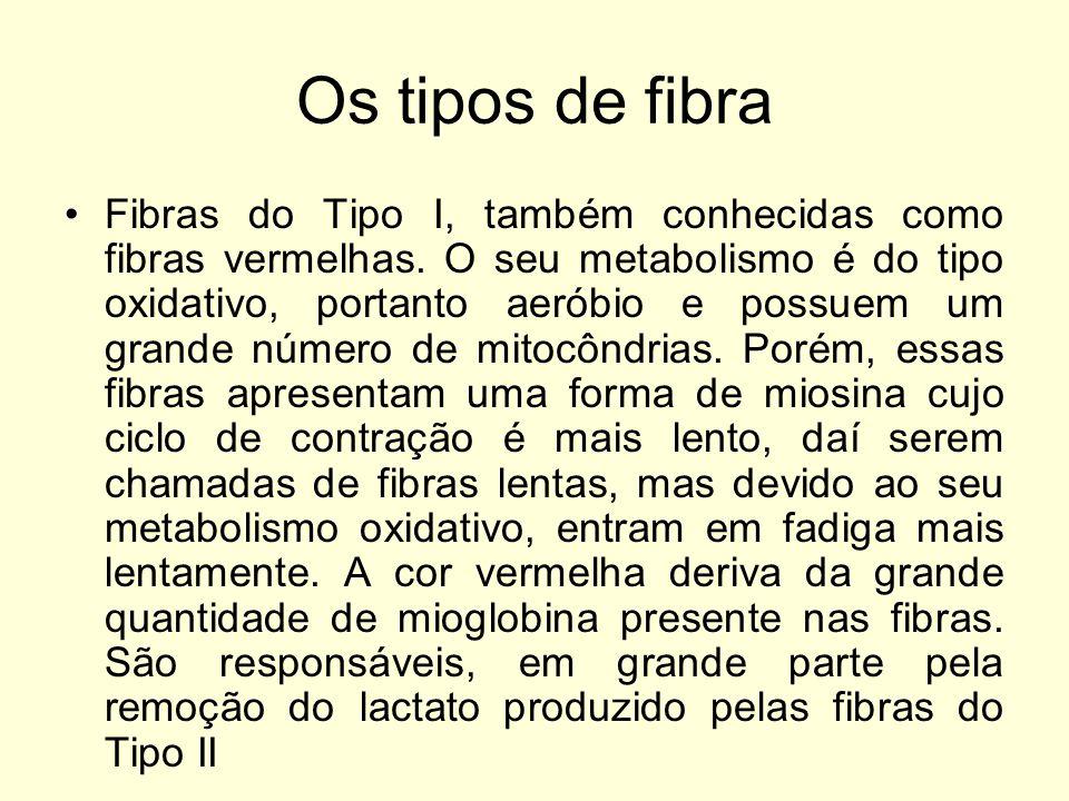 Os tipos de fibra Fibras do Tipo I, também conhecidas como fibras vermelhas.