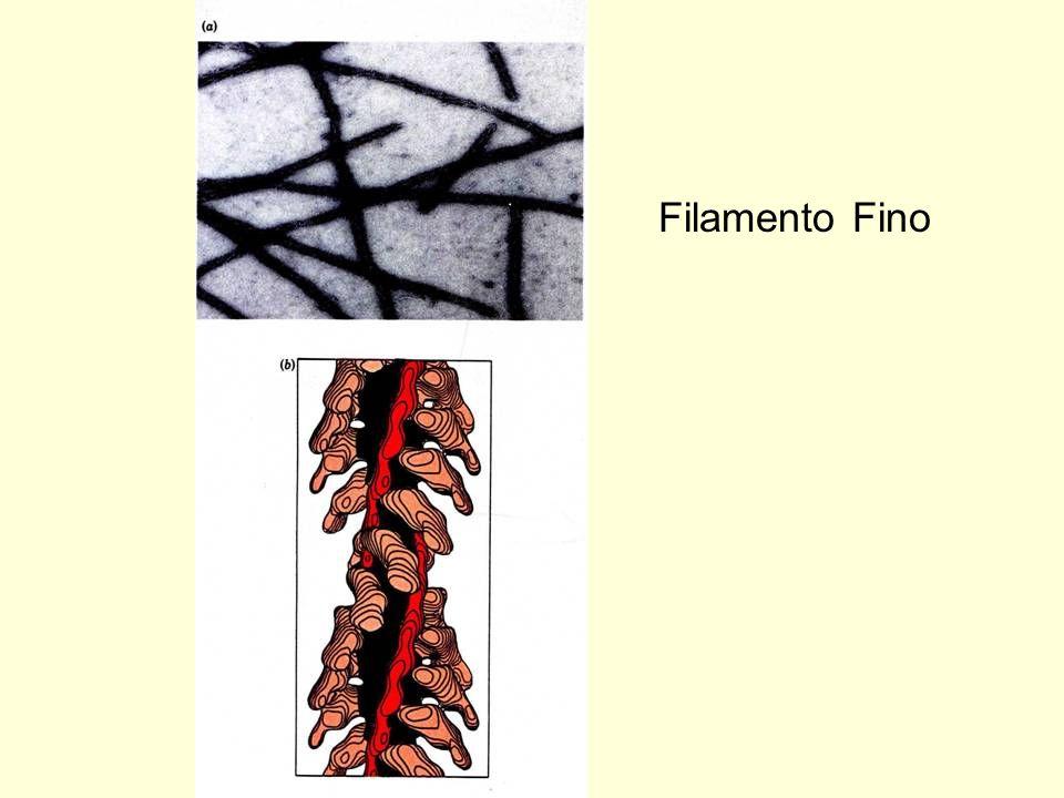 Filameno Grosso