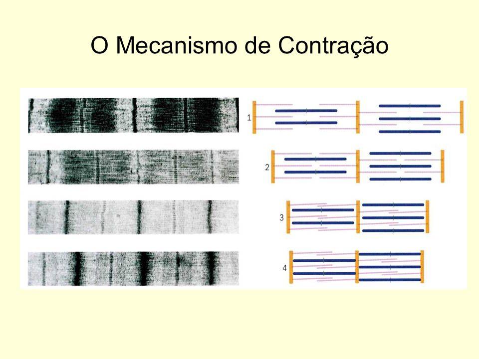 O Mecanismo de Contração