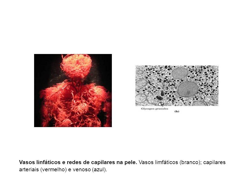 Vasos linfáticos e redes de capilares na pele. Vasos limfáticos (branco); capilares arteriais (vermelho) e venoso (azul).