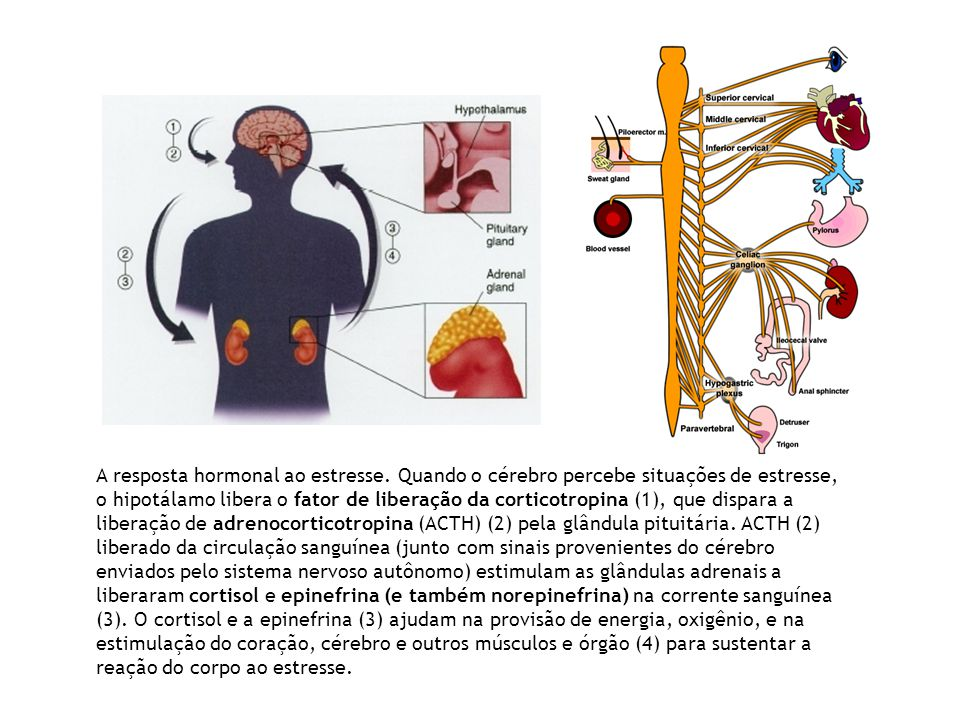 A resposta hormonal ao estresse. Quando o cérebro percebe situações de estresse, o hipotálamo libera o fator de liberação da corticotropina (1), que d