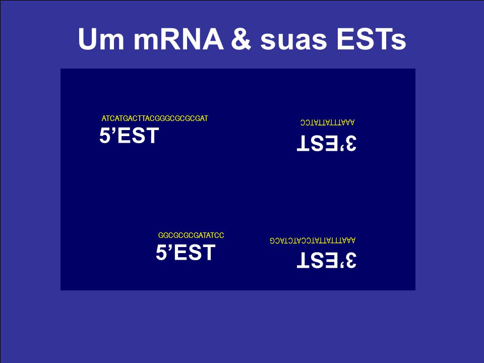 Um mRNA & suas ESTs (A) 20 0 (T) 18 cDNA (fita -) AUG (A) 18 cDNA (fita +) (A) 20 0 (T) 18 cDNA (fita -) AUG (A) 18 cDNA (fita +) ATG ATCATGACTTACGGGC
