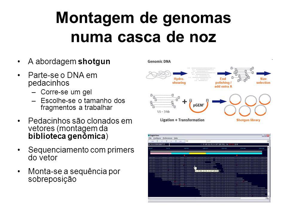 Montagem de genomas numa casca de noz A abordagem shotgun Parte-se o DNA em pedacinhos –Corre-se um gel –Escolhe-se o tamanho dos fragmentos a trabalh