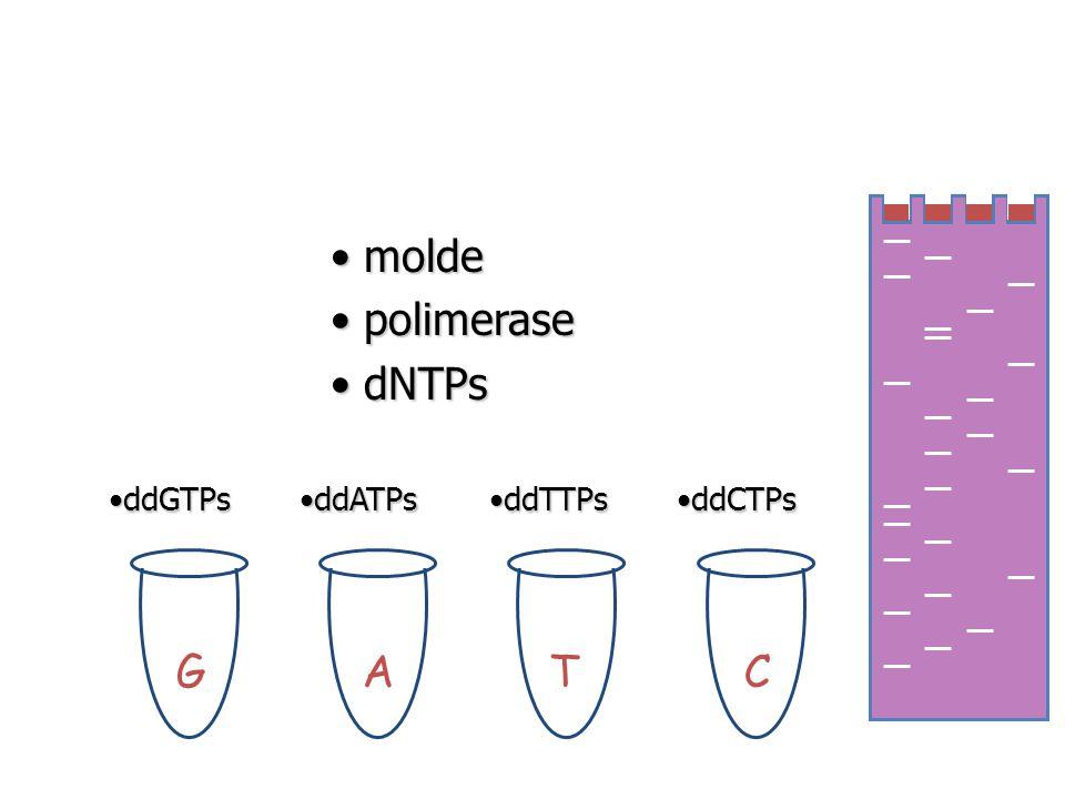 GATC molde molde polimerase polimerase dNTPs dNTPs ddGTPsddGTPs ddATPsddATPs ddTTPsddTTPs ddCTPsddCTPs