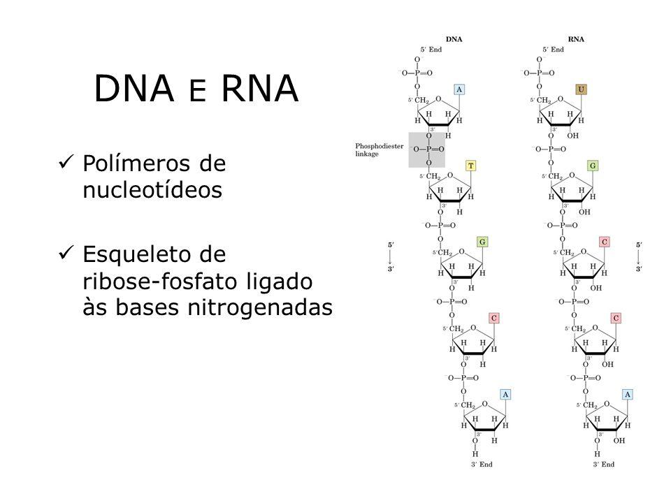 DNA E RNA Polímeros de nucleotídeos Esqueleto de ribose-fosfato ligado às bases nitrogenadas