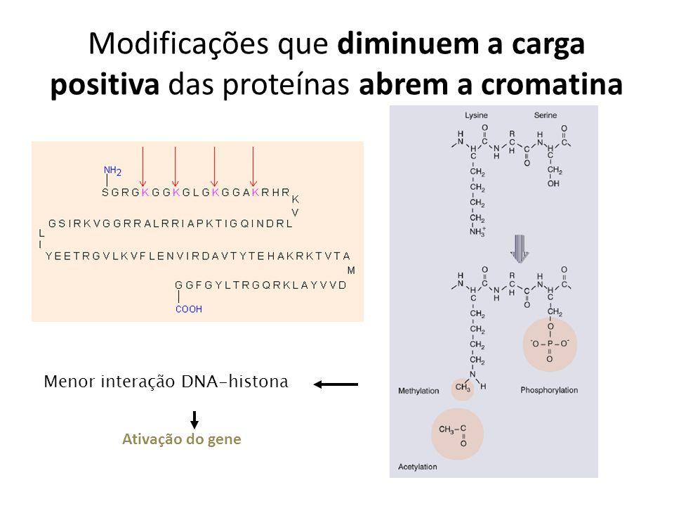 Modificações que diminuem a carga positiva das proteínas abrem a cromatina Menor interação DNA-histona Ativação do gene