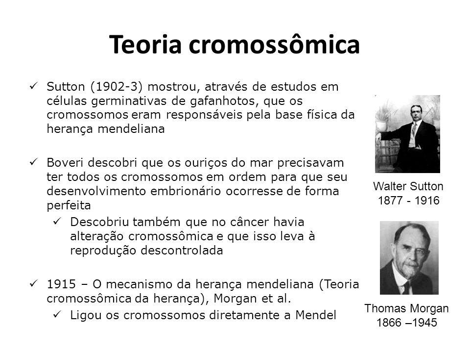 Teoria cromossômica Sutton (1902-3) mostrou, através de estudos em células germinativas de gafanhotos, que os cromossomos eram responsáveis pela base