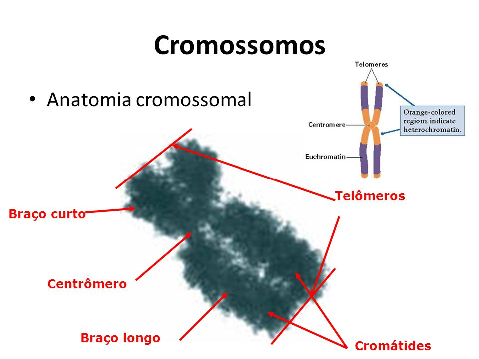 Cromossomos Anatomia cromossomal Centrômero Telômeros Braço longo Braço curto Cromátides