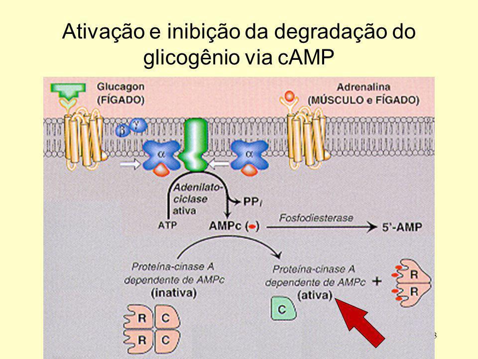 4 Ativação e inibição da degradação do glicogênio