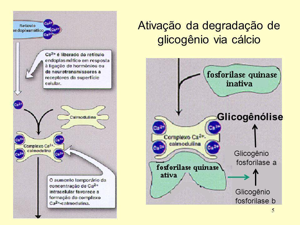5 Ativação da degradação de glicogênio via cálcio Glicogênio fosforilase b Glicogênio fosforilase a Glicogênólise