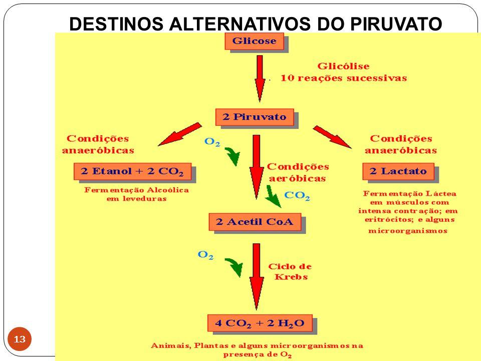 13 DESTINOS ALTERNATIVOS DO PIRUVATO