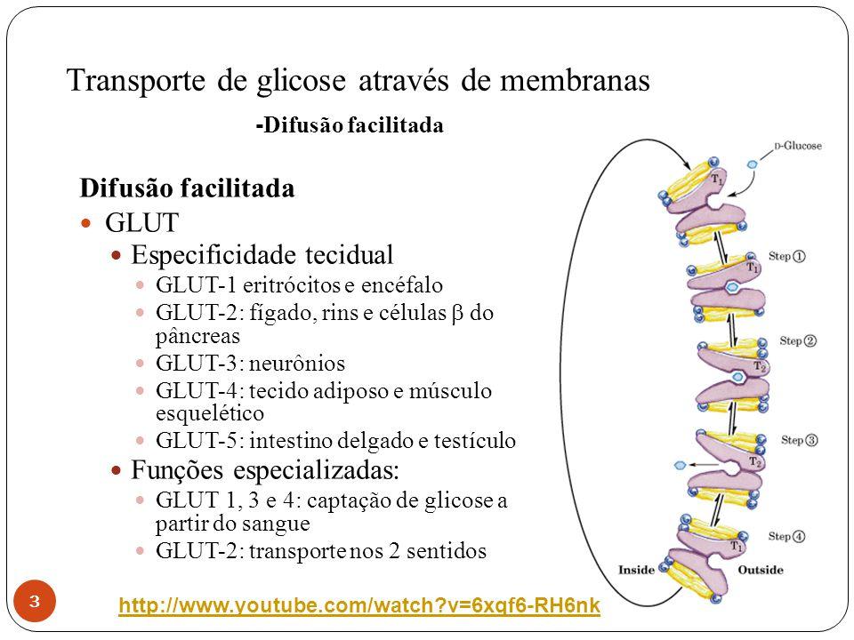 Transporte de glicose através de membranas 3 Difusão facilitada GLUT Especificidade tecidual GLUT-1 eritrócitos e encéfalo GLUT-2: fígado, rins e célu