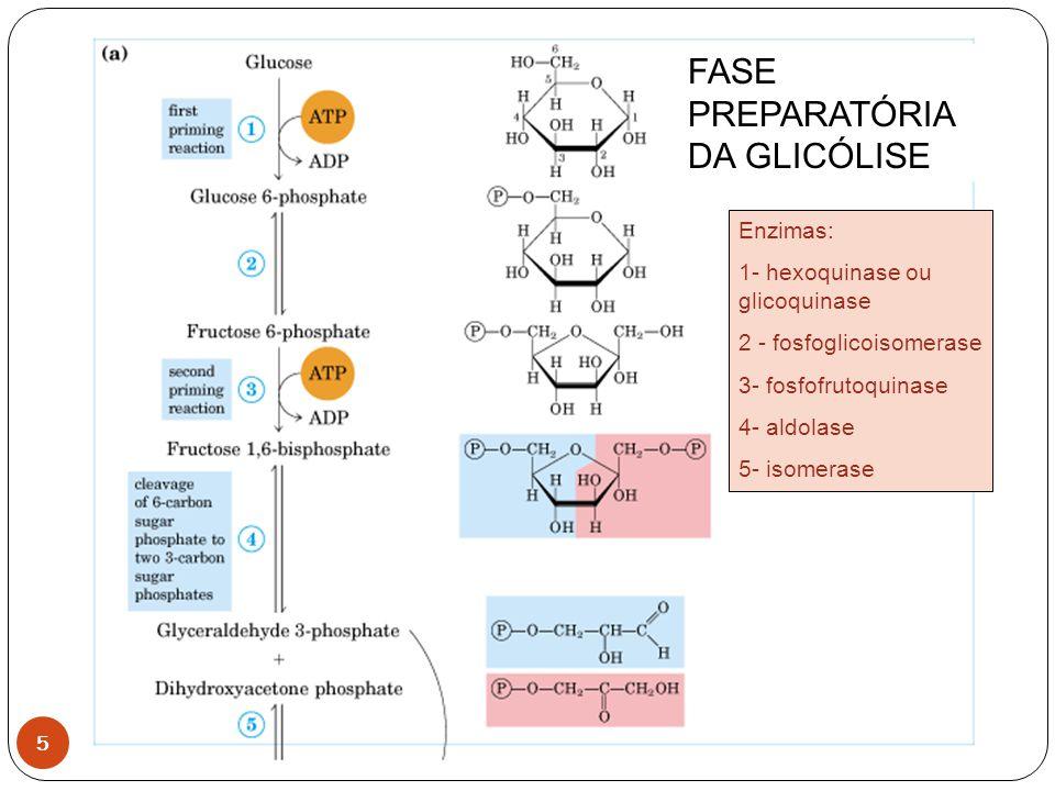 5 Enzimas: 1- hexoquinase ou glicoquinase 2 - fosfoglicoisomerase 3- fosfofrutoquinase 4- aldolase 5- isomerase FASE PREPARATÓRIA DA GLICÓLISE