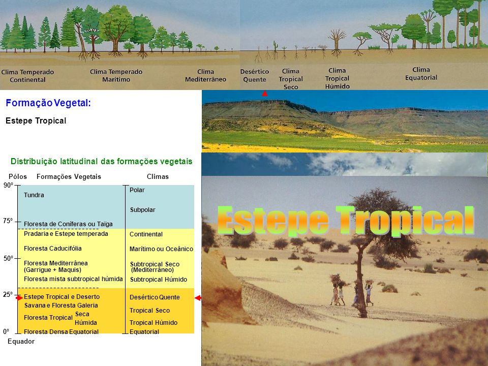 Formação Vegetal: Equador Pólos 90º 75º 50º 25º 0º Tundra Floresta de Coníferas ou Taïga Pradaria e Estepe temperada Floresta Caducifólia Floresta Mediterrânea (Garrigue + Maquis) Floresta mista subtropical húmida Estepe Tropical e Deserto Savana e Floresta Galeria Floresta Tropical Seca Floresta Tropical Húmida Floresta Densa Equatorial Polar Subpolar Continental Marítimo ou Oceânico Subtropical Seco (Mediterrâneo) Subtropical Húmido Desértico Quente Tropical Seco Tropical Húmido Equatorial Distribuição latitudinal das formações vegetais ClimasFormações Vegetais Floresta Tropical Deserto