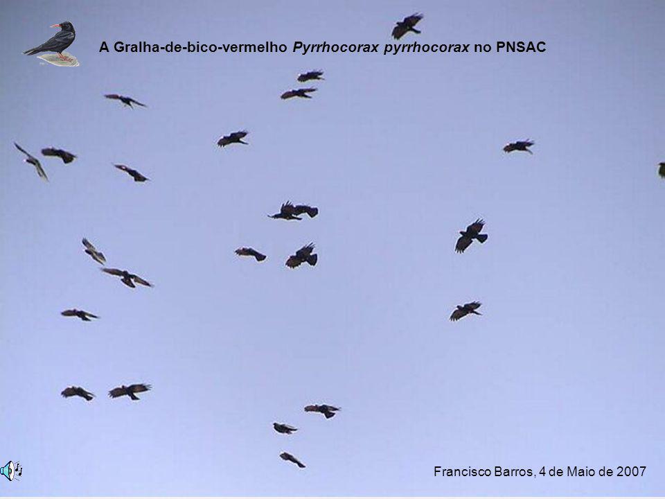 Distribuição nacional Serras da Peneda-Gerês (PNPG) Serra do Barroso Serra do Alvão (PNAlvão) Arribas do Douro (PNAD) Serra da Estrela (PNSE) Serra dos Candeeiros e Planalto se Stº António (PNSAC) Serra de Montejunto (PPSM) Ponta de Sagres (PNSACV) A Gralha-de-bico-vermelho Pyrrhocorax pyrrhocorax no PNSAC