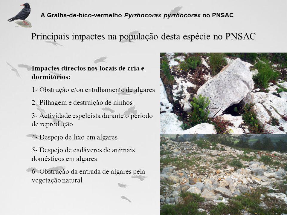 Principais impactes na população desta espécie no PNSAC A Gralha-de-bico-vermelho Pyrrhocorax pyrrhocorax no PNSAC Impactes directos nos locais de cri