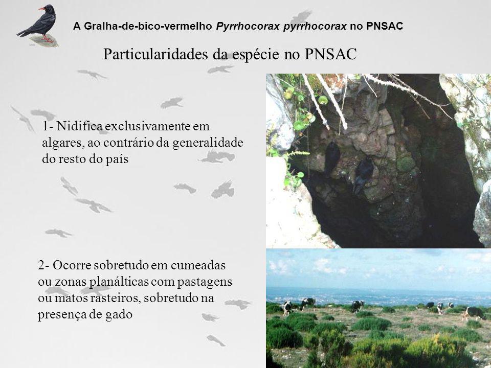 Principais impactes na população desta espécie no PNSAC A Gralha-de-bico-vermelho Pyrrhocorax pyrrhocorax no PNSAC Impactes indirectos nos locais de cria e dormitórios: 1- Aumento da perturbação pela abertura e melhoramento de acessos rodoviários 2- Aumento da perturbação pela indústria de exploração de pedra 3- Aumento da perturbação por actividades massivas de desporto de natureza 4- Aumento da perturbação por actividades de carácter cinegético em época de cria