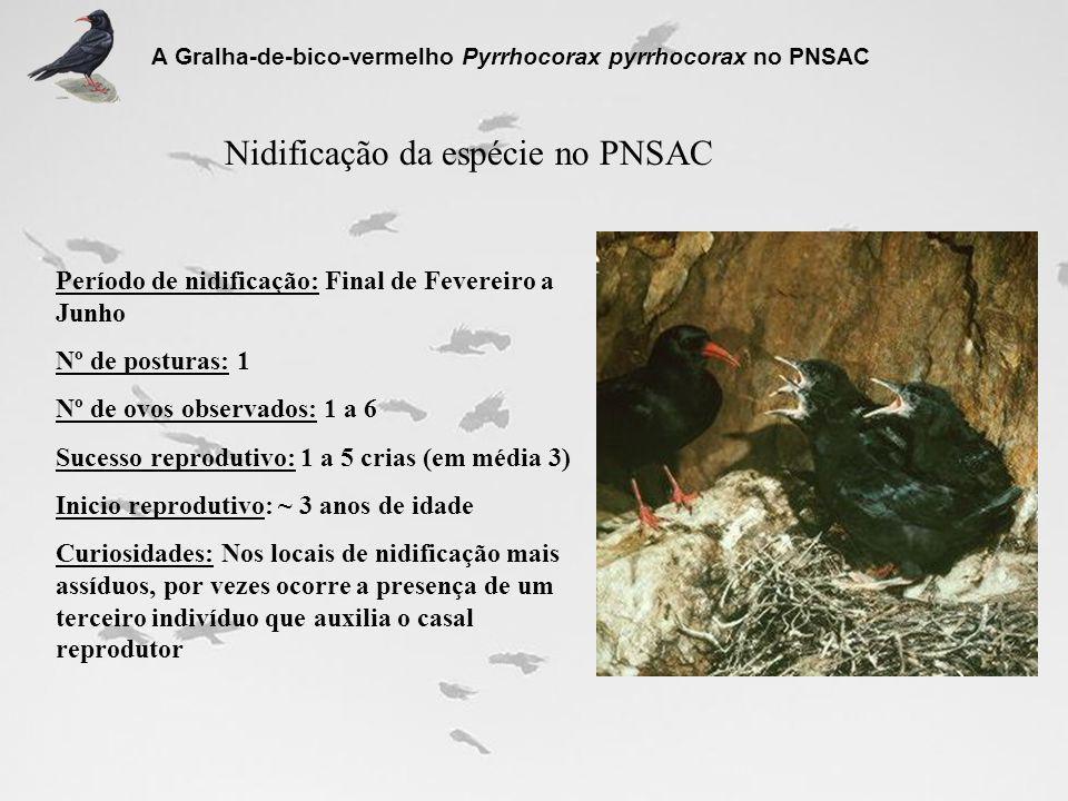 Nidificação da espécie no PNSAC A Gralha-de-bico-vermelho Pyrrhocorax pyrrhocorax no PNSAC Período de nidificação: Final de Fevereiro a Junho Nº de po