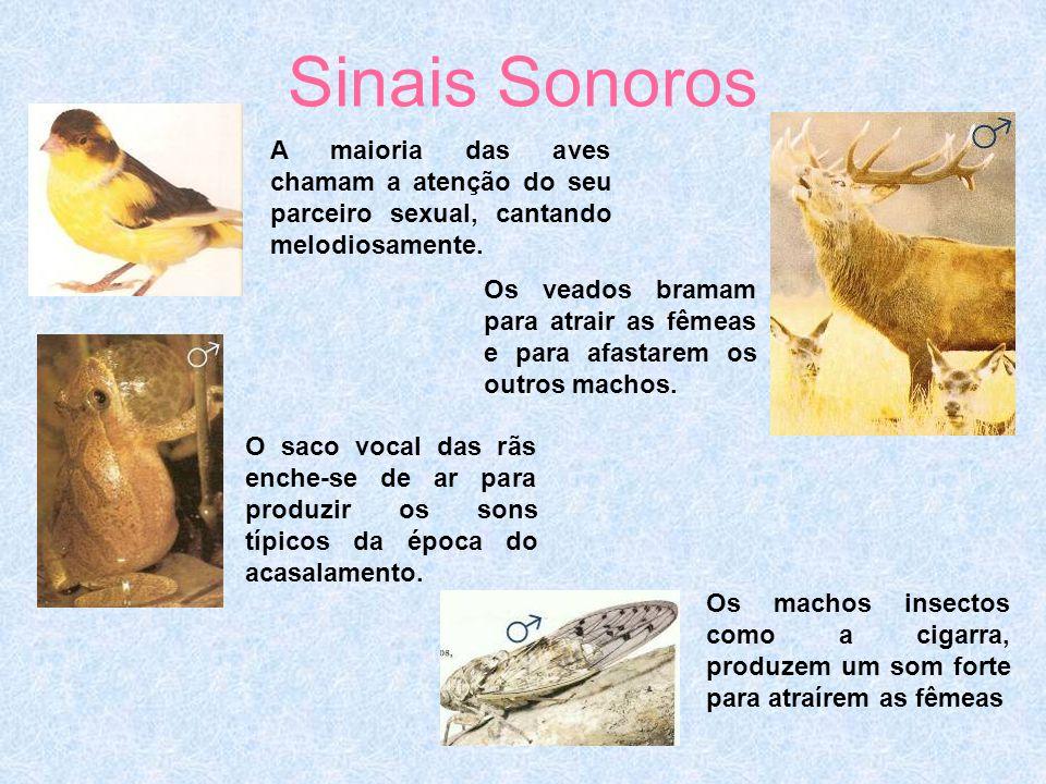 Sinais Sonoros A maioria das aves chamam a atenção do seu parceiro sexual, cantando melodiosamente.