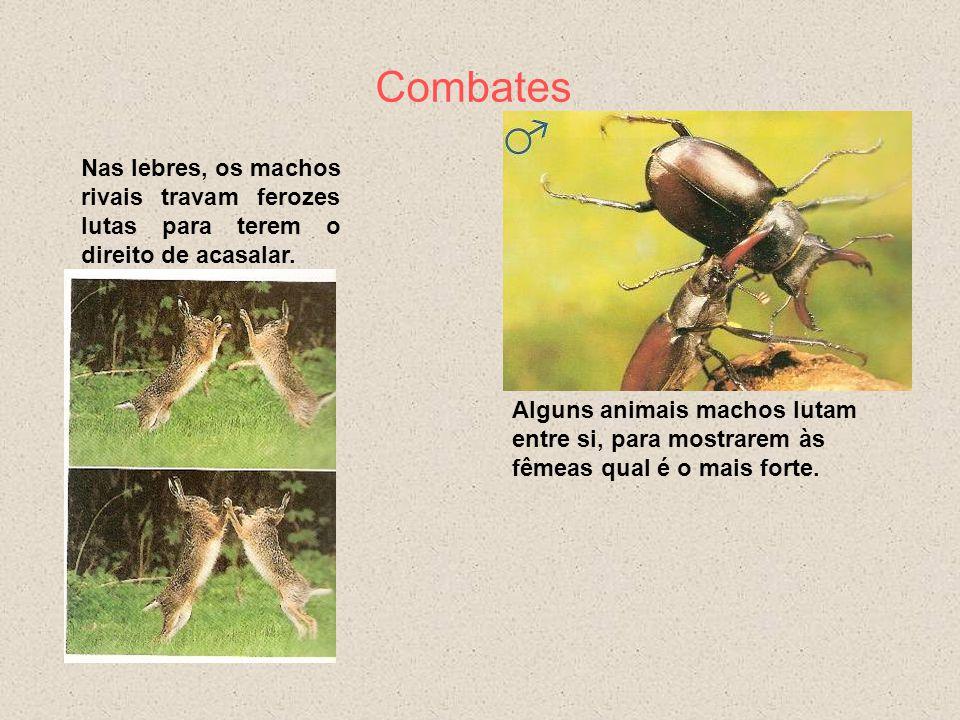 Sinais Visuais O pavão arma as suas lindas penas para atrair a fêmea. A abetarda faz grandes exibições: abra a cauda, incha o peito, arqueia as asas l