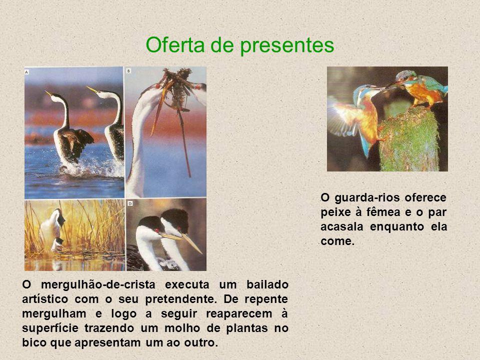 Oferta de presentes O guarda-rios oferece peixe à fêmea e o par acasala enquanto ela come.