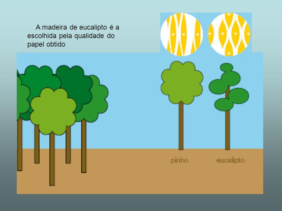 A madeira de eucalipto é a escolhida pela qualidade do papel obtido