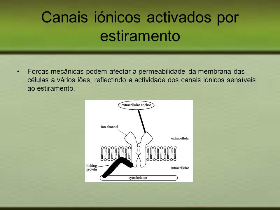 Canais iónicos activados por estiramento Forças mecânicas podem afectar a permeabilidade da membrana das células a vários iões, reflectindo a activida