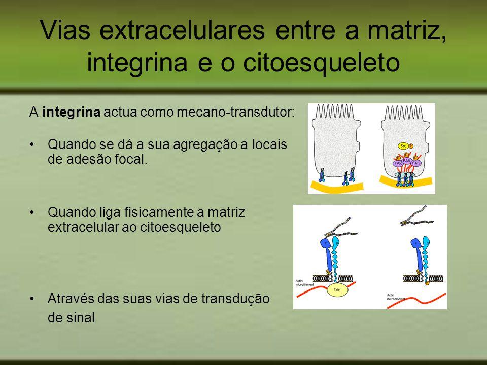 Vias extracelulares entre a matriz, integrina e o citoesqueleto A integrina actua como mecano-transdutor: Quando se dá a sua agregação a locais de ade