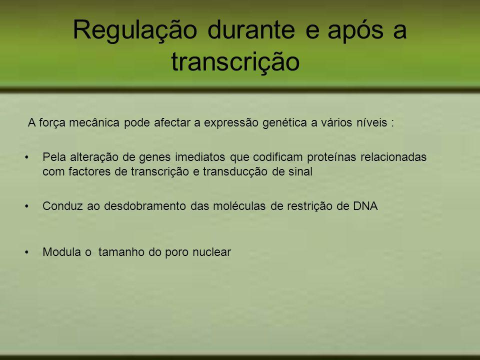 Regulação durante e após a transcrição A força mecânica pode afectar a expressão genética a vários níveis : Pela alteração de genes imediatos que codi