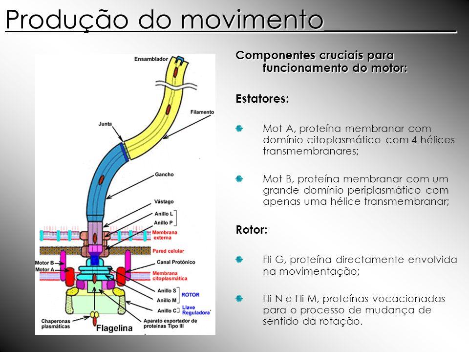 Produção do movimento__________ Componentes cruciais para funcionamento do motor: Estatores: Mot A, proteína membranar com domínio citoplasmático com
