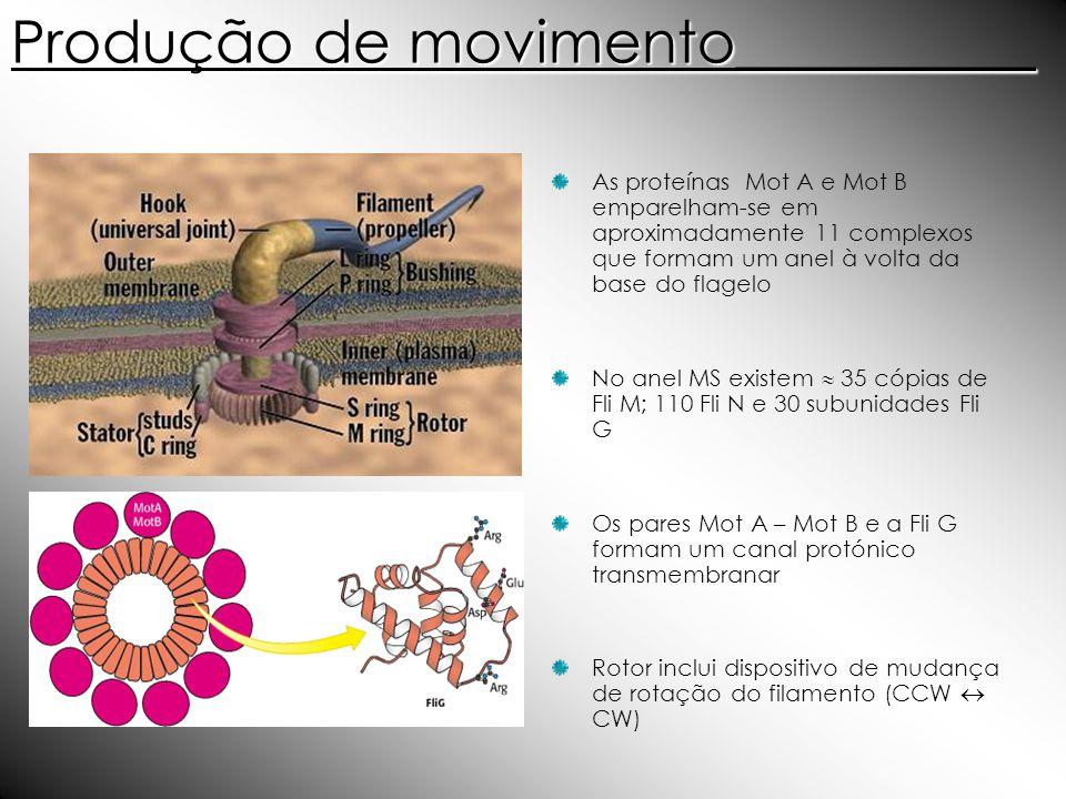 Produção de movimento__________ As proteínas Mot A e Mot B emparelham-se em aproximadamente 11 complexos que formam um anel à volta da base do flagelo