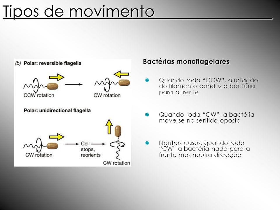 Bactérias monoflagelares Quando roda CCW, a rotação do filamento conduz a bactéria para a frente Quando roda CW, a bactéria move-se no sentido oposto