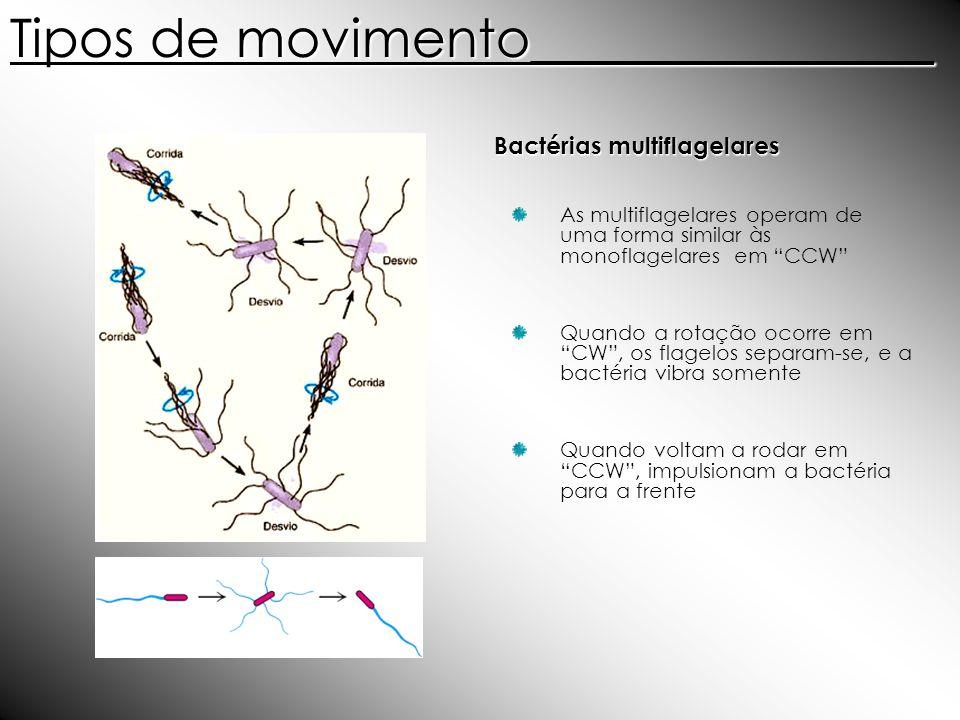 Bactérias multiflagelares As multiflagelares operam de uma forma similar às monoflagelares em CCW Quando a rotação ocorre em CW, os flagelos separam-s